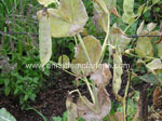 Mildew on Peas